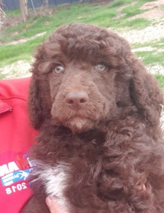 Bluegrace, curly brown Portuguese Water Dog