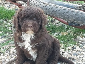 Portuguese Water Dog, pup, Bluegrace, Toolleen, Jane Anderson