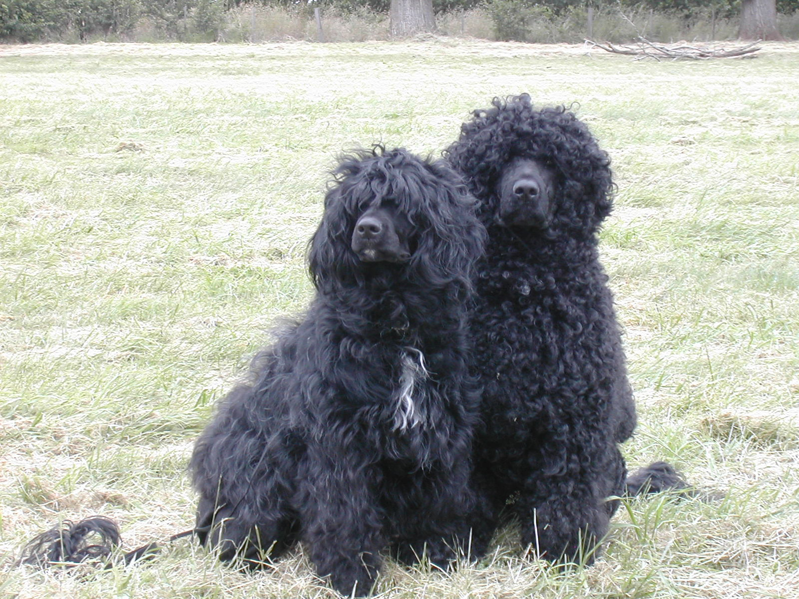 Why Consider A Portuguese Water Dog For Your Home Bluegrace