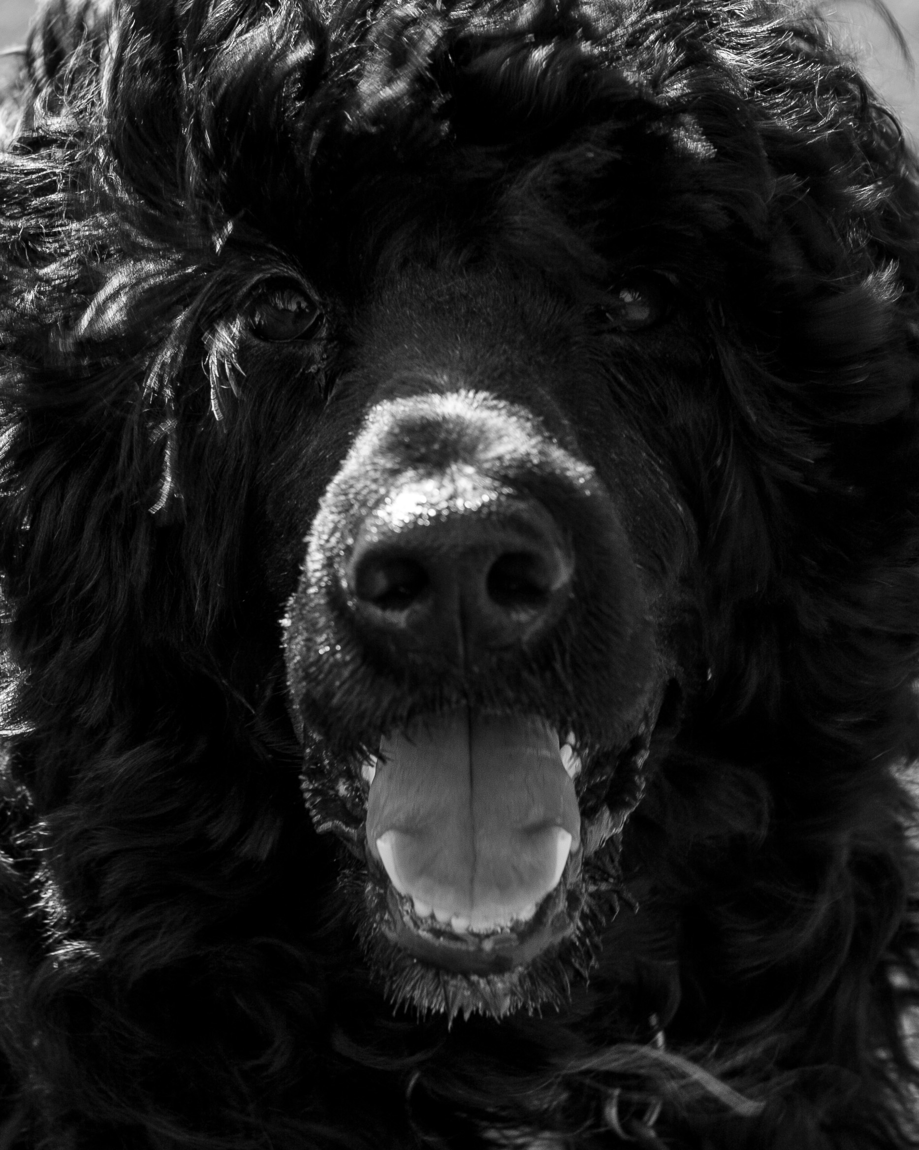 Bluegrace | Portuguese Water Dogs