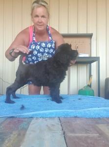 Turbo, Portuguese Water Dog, 7 weeks old, show prospect, Bluegrace