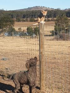 Bluey, Devon Rex meets Spritz the Portuguese Water Dog.