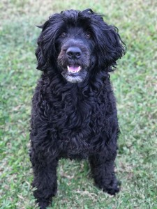 Portuguese Water Dog sitting, from Bluegrace