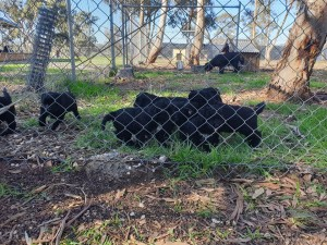 Portuguese Water Dogs, Bluegrace, Puppies