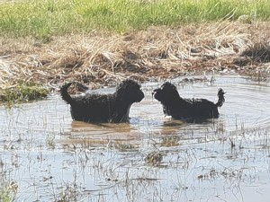 Bluegrace Portuguese Water Dog puppies in the water for their first swim