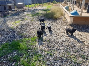 Bluegrace Portuguese Water Dogs, puppies learning to follow