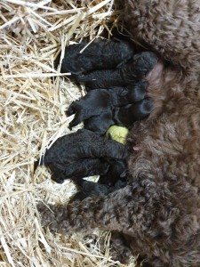 Portuguese Water Dog, puppies, Bluegrace