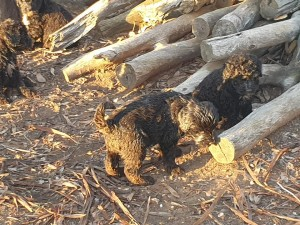 Portuguese Water Dog puppies in wood stack, Bluegrace